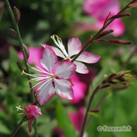 Gaura « rosy jane» un Gaura au coloris rose et blanc très léger et aérien lui aussi attractif toute la belle saison en terrain sec ou frais