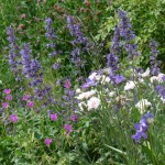 Mise en scène de 3 vivaces de terrain sec en fleur prise le 30/05/2014 Nepeta X faasseniii Erodium manescavii Dianthus Gratianopolytanus.-Hybr.'Badenia