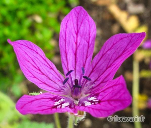 ERODIUM MANESCAVII - Fleuri de mai au premières gelée si on prend la peine et elle est minime de retirer en tirant dessus à la main les ampes florales défleuries Rose pâle
