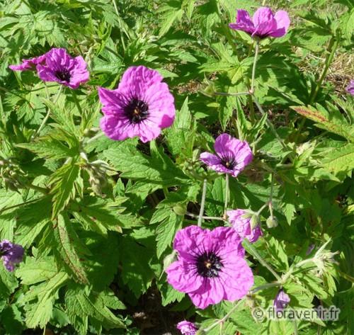Floravenir formations les plantes vivaces dans le fleurissement des communes - Plante a fleurs roses ...