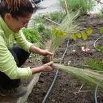 Planter, entretenir un massif de plantes vivaces