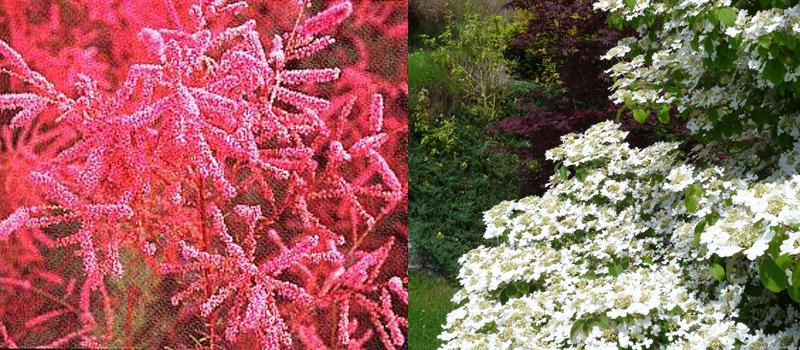 arbustes-à-fleurs-et-à-feuillages-décoratifs-en-fleurissement-durable-02