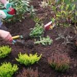 Planter & entretenir un massif de plantes vivaces