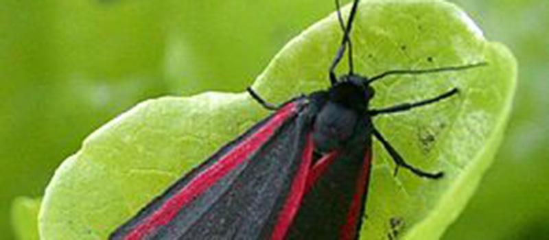 papillon-r